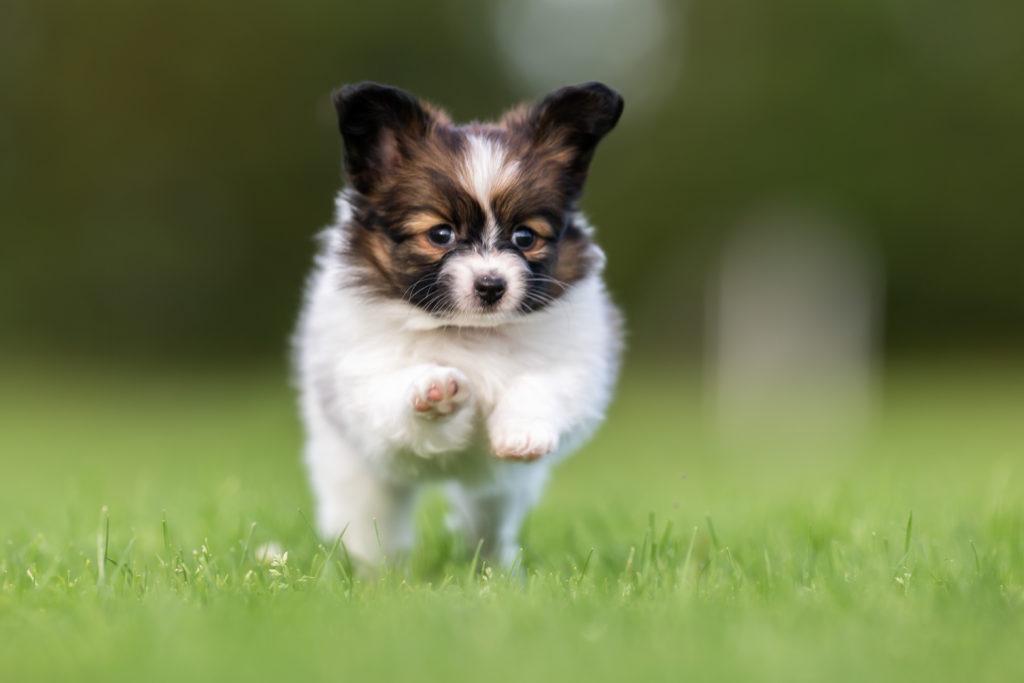 Süße Hunde sind oft überzüchtet. Bild: Mikkel Bigandt - fotolia
