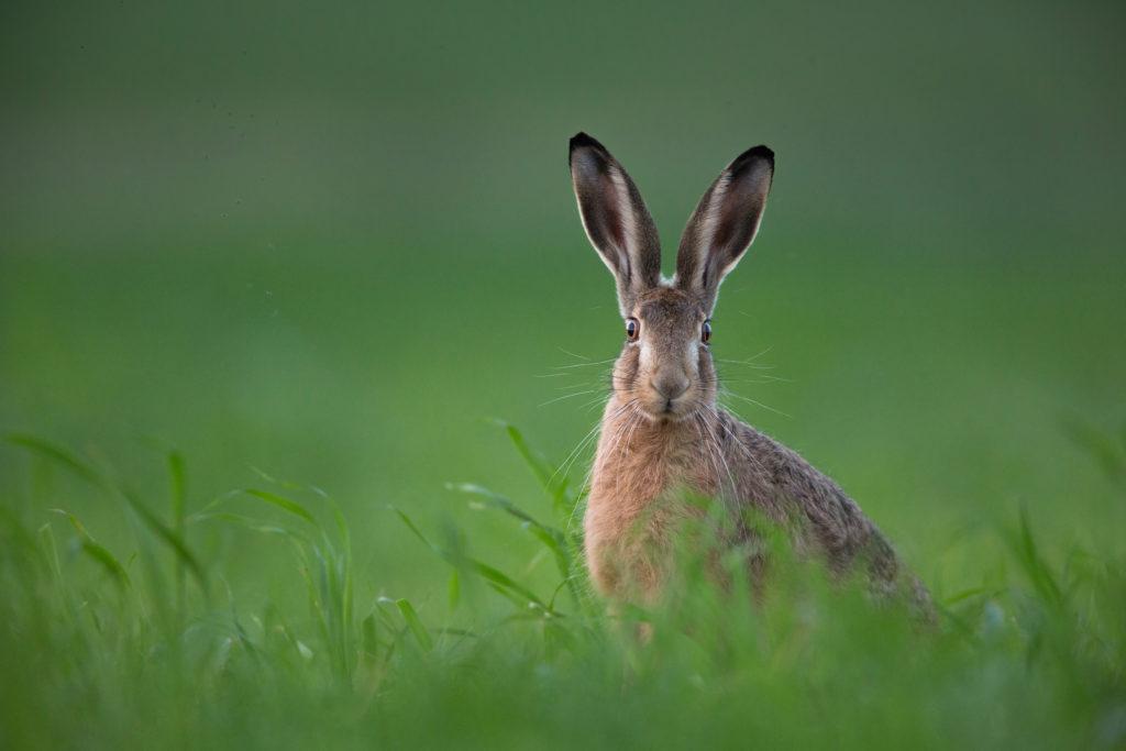 Im bayrischen Landkreis Cham wurd bei einem Feldhasen der Erreger der Hasenpest nachgewiesen. (Bild: shocky/fotolia.com)