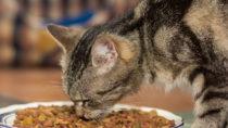 Zeigen Katzen nach dem Füttern Beschwerden wie Durchfall oder Erbrechen, kann dies auf eine Futtermittelallergie zurückgehen. (Bild: alho007/fotolia.com)