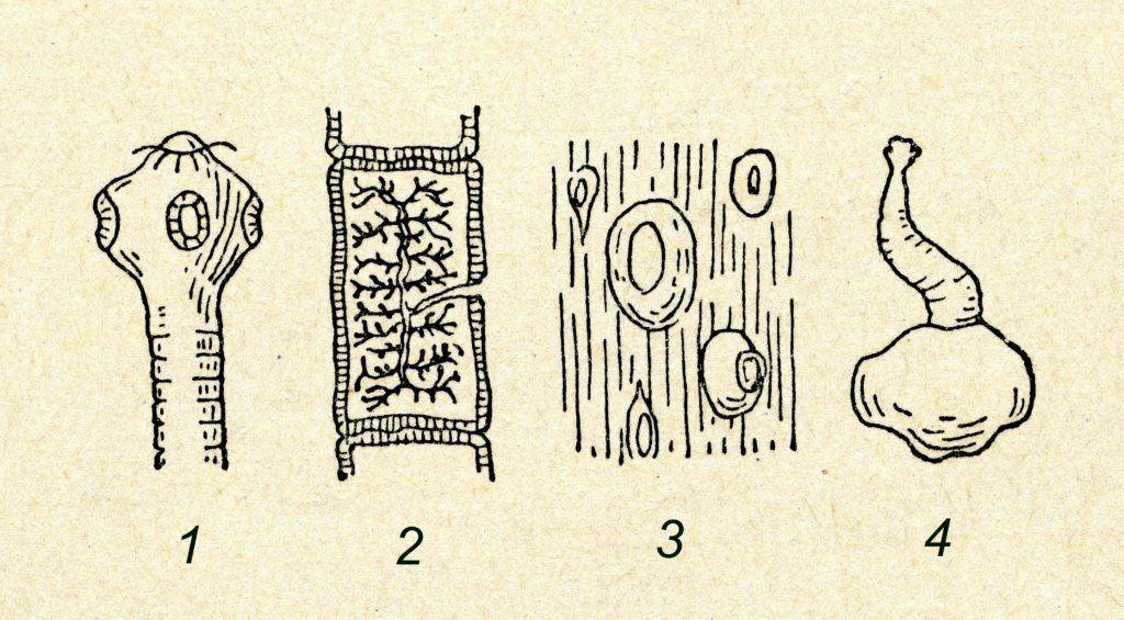 Im menschlichen Körper können Rinderbandwürmer meterlang werden. (Bild: Juulijs/fotolia.com)