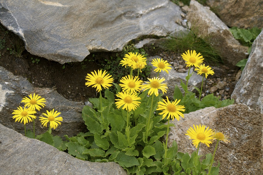 Heilpflanze der Naturheilkunde: Arnika. Bild: chiarafornasari - fotolia
