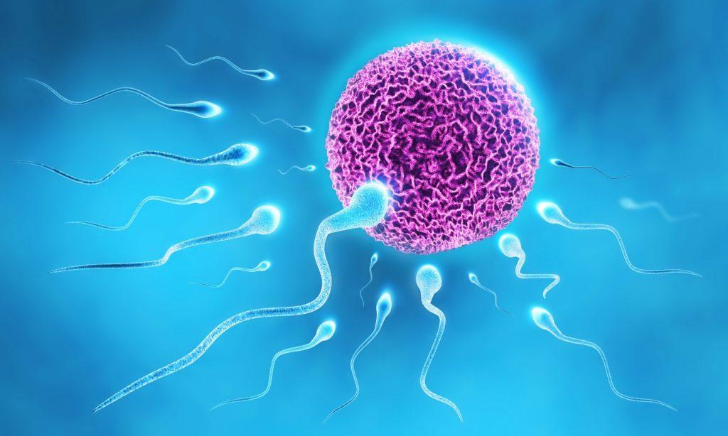 Die Ernährung des Vaters ist entscheidend. Bild: twindesigner Sperm and Egg - fotolia