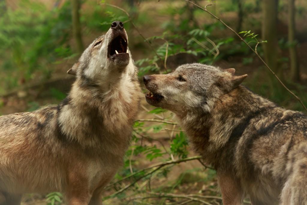 Weit verbreitet ist die Angst vor Wölfen. Bild: © Nadine Haase - fotolia