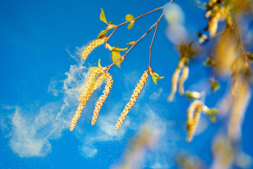 Für dieses Jahr wird ein besonders starke lug der Birkenpollen erwartet, was für Heuschnupfen-Patienten vermehrte Beschwerden mit sich bringt. (Bild: Ingo Bartussek/fotolia.com)