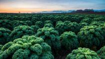 Als heimisches Gemüse kann sich Grünkohl durchaus mit sogenanntem Superfood wie Goji-Beeren messen. (Bild: HOEFFEL/fotolia.com)
