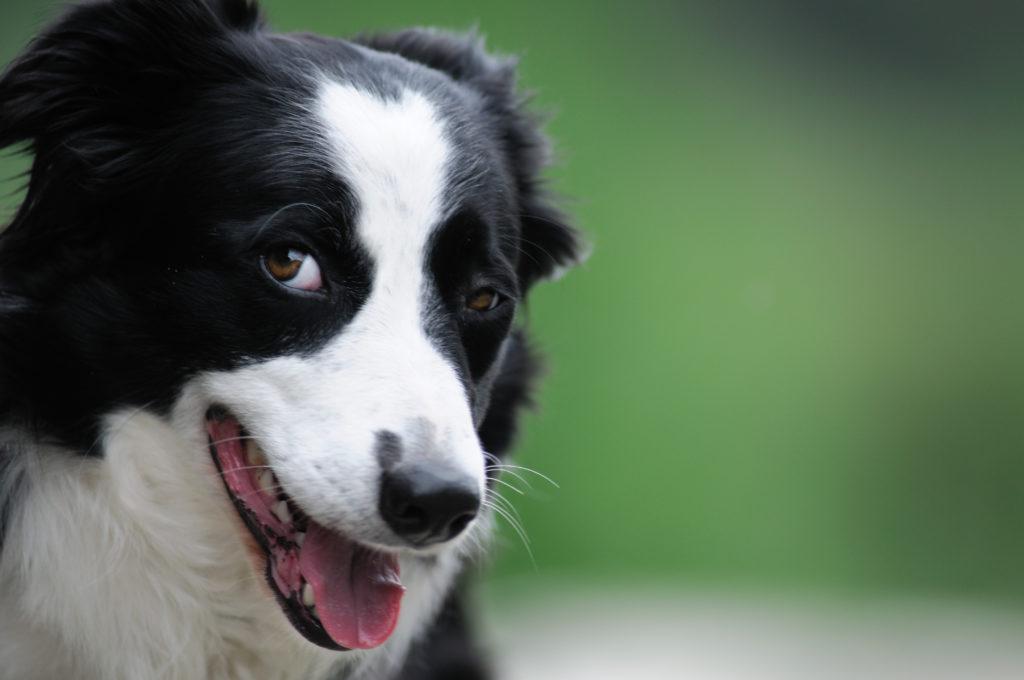 Ein Hunde-IQ-Test soll Aufschluss über die Zusammenhänge zwischen Intelligenz und Gesundheit liefern. (Bild: www.matteozanga.it/fotolia.com)