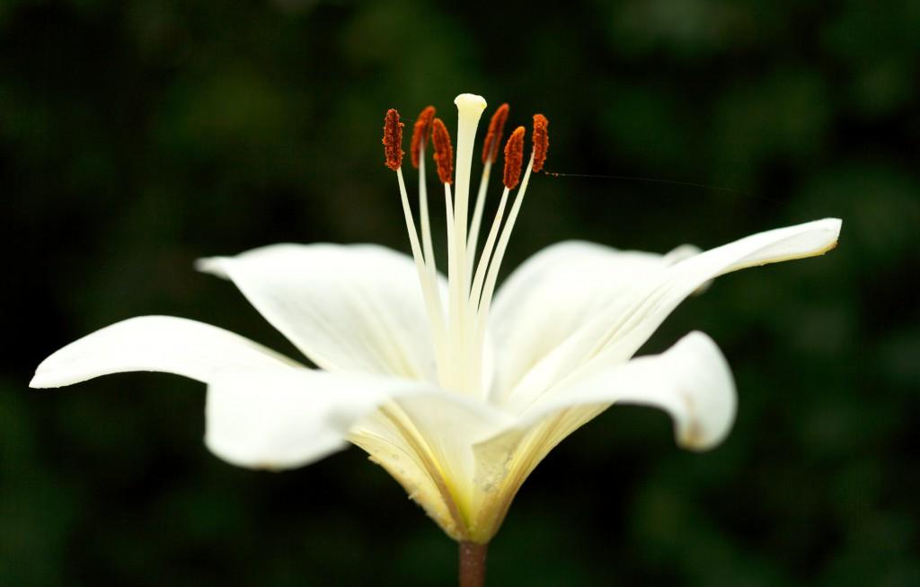 Die Existenz der weißen Lilien wird in der griechischen Mythologie ebenfalls auf Herules zurückgeführt. (Bild: vvoe/fotolia.com)