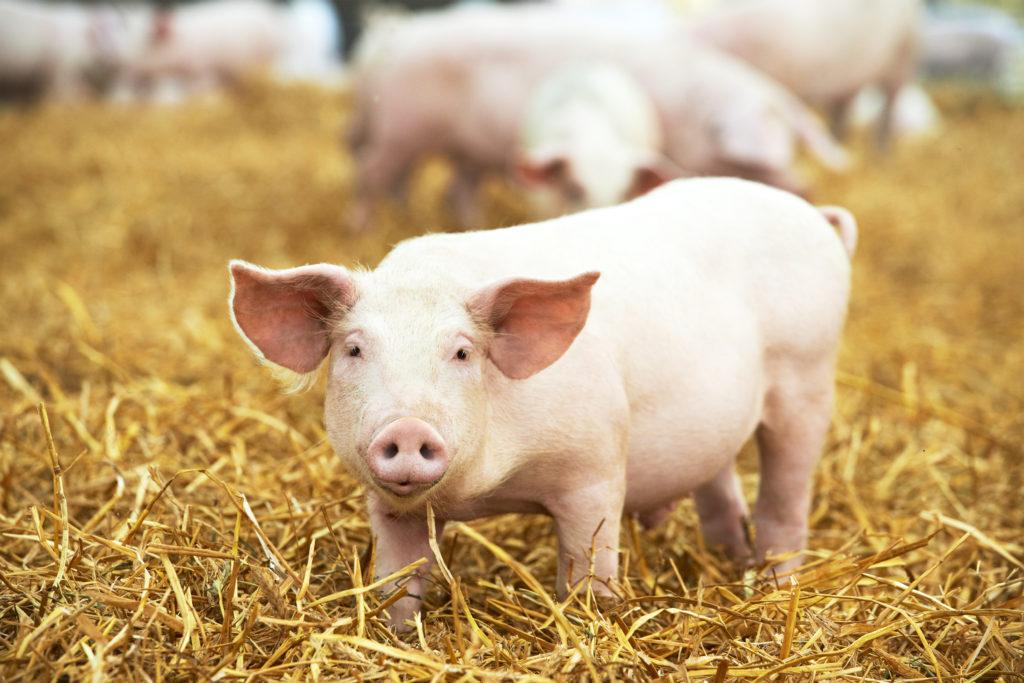 schweine als schutz