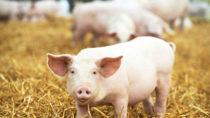 Mit dem Zika-Virus verwandte Viren können in Schweinen überwintern. (Bild: Kadmy/fotolia.com)