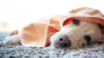 Immer mehr Hunde können kein Fleisch mehr essen. Bild: Africa Studio - fotolia