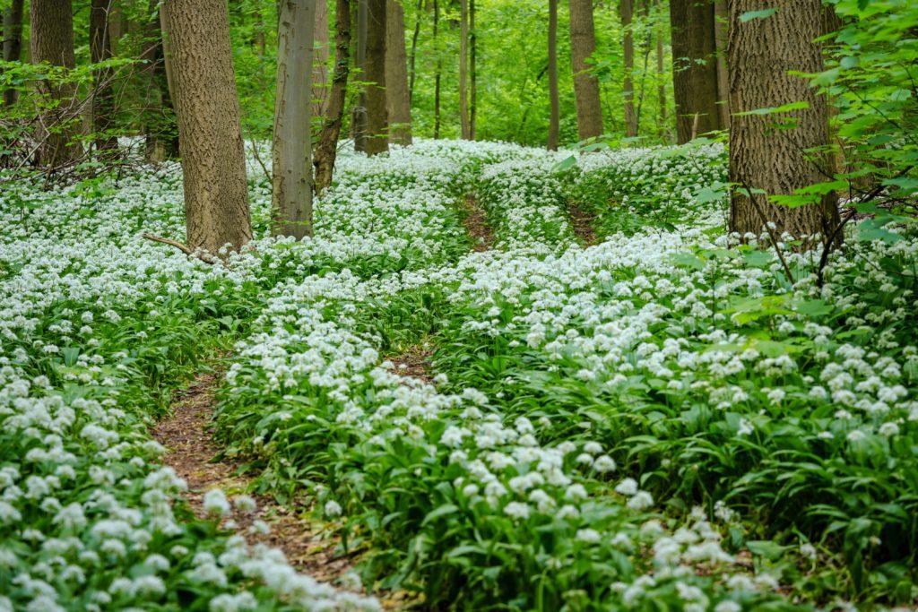 Frühlingszeit ist Bärlauchzeit. Wer selbst sammeln geht, sollte vorsichtig sein. Bärlauch ähnelt Pflanzen, deren Verzehr tödlich enden kann. (Bild: ferkelraggae/fotolia.com)