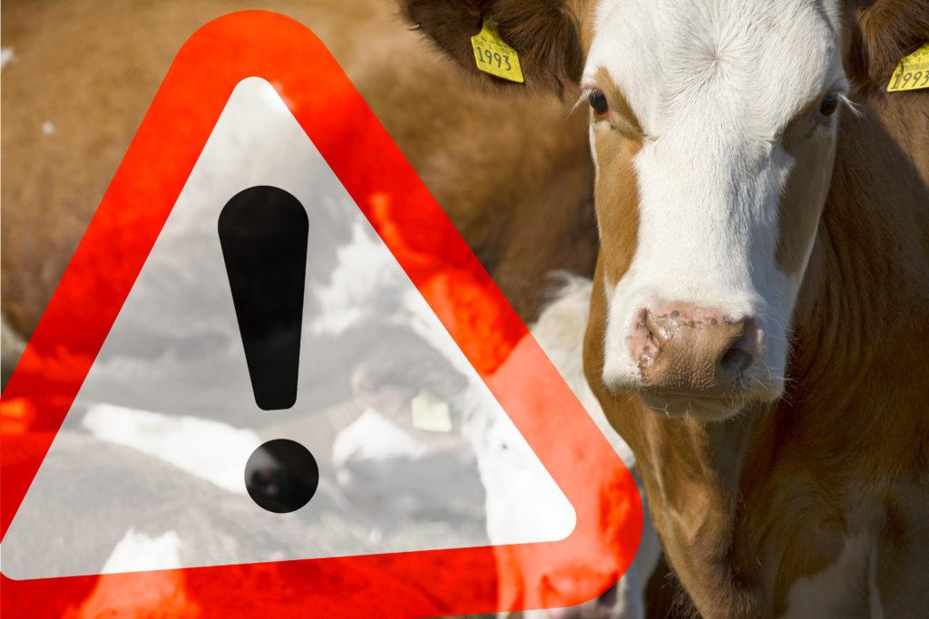 In Frankreich wurde bei einer verstorbenen Kuh BSE nachgewiesen. Für Verbraucher besteht laut Angaben der Behörden jedoch keine Gefahr. (Bild: bluedesign/fotolia.com)