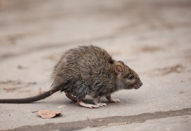 Wissenschaftler stellten fest, dass die Anwesenheit von Ratten in ärmeren Wohngebieten dazu führen kann, dass Bewohner eine höhere Wahrscheinlichkeit für Depressionen entwickeln. (Bild: kichigin19/fotolia.com)