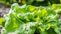 Mit einigen einfachen Tricks bleibt der Salat länger frisch. (Bild: Daniel Berkmann/fotolia.com)