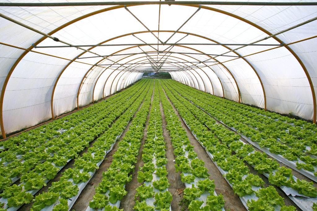 Salate aus dem heimischen Gewächshaus sind nach der Ernte nur sehr kurz haltbar. (Bild: txakel/fotolia.com)