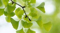 Ginko erstmals in der medizinischen Leitlinie S3. Bild: hiromi8787 - fotolia