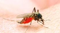 Auch Mücken übertragen Infektionskrankheiten. Bild: Kletr - fotolia
