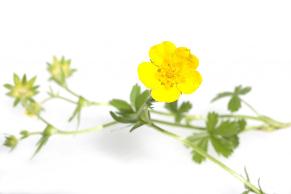 Die Naturheilkunde bietet zahlreiche unterschiedliche Behandlungsansätze gegen die verschiedenen Ursachen des Afterblutens. Als Heilpflanze zum Stoppen der Blutung hat sich beispielsweise die Blutwurz bewährt. (Bild: emer/fotolia.com)