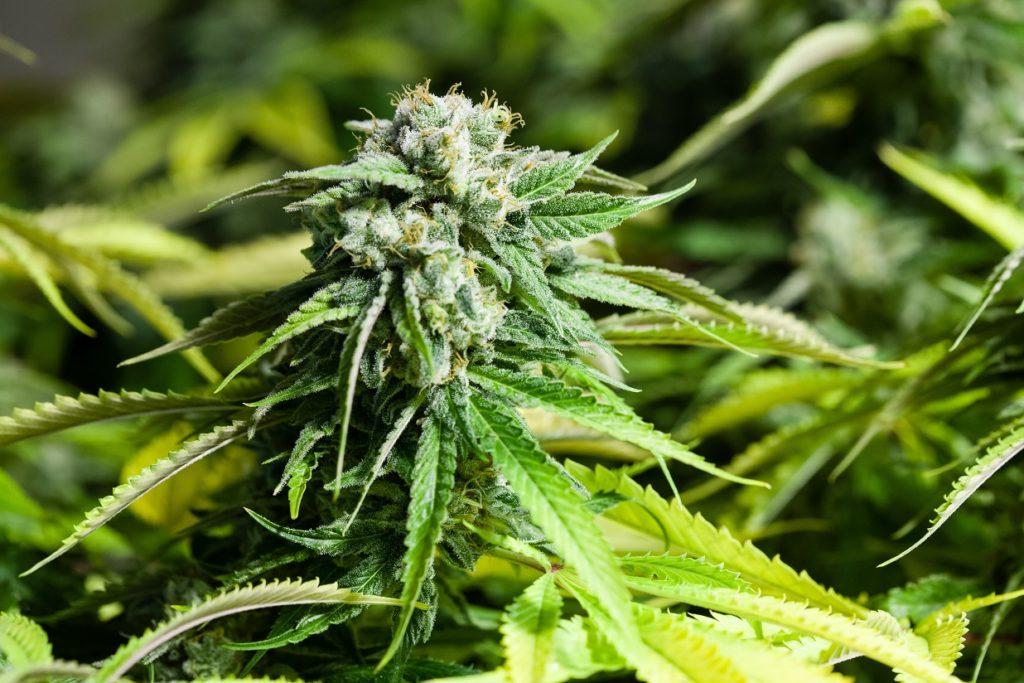 Zur Eigentherapie erlaubt: Cannabis. Bild: Eric Limon - fotolia