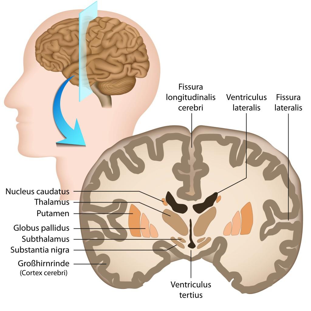 Berühmt Anatomie Des Gehirns Leicht Gemacht Zeitgenössisch ...