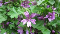 Eine fast vergessene Heilpflanze der Naturheilkunde. Bild: Heike Rau - fotolia