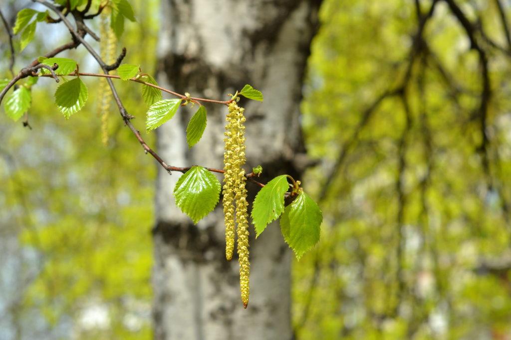 Forscher haben festgestellt, dass nicht-allergene Bestandteile von Birkenpollen die unangenehme Abwehrreaktion des Körpers verschlimmern. Die Erkenntnisse könnten helfen, die Allergie-Therapie zu verbessern. (Bild: onlynuta/fotolia.com)