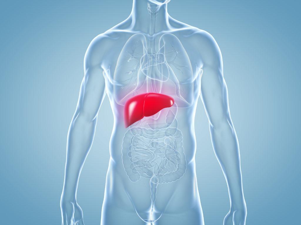 Die Leber befindet sich im rechten Oberbauch und ist das wichtigste Stoffwechselorgan in unserem Körper. (Bild: ag visuell/fotolia.com)