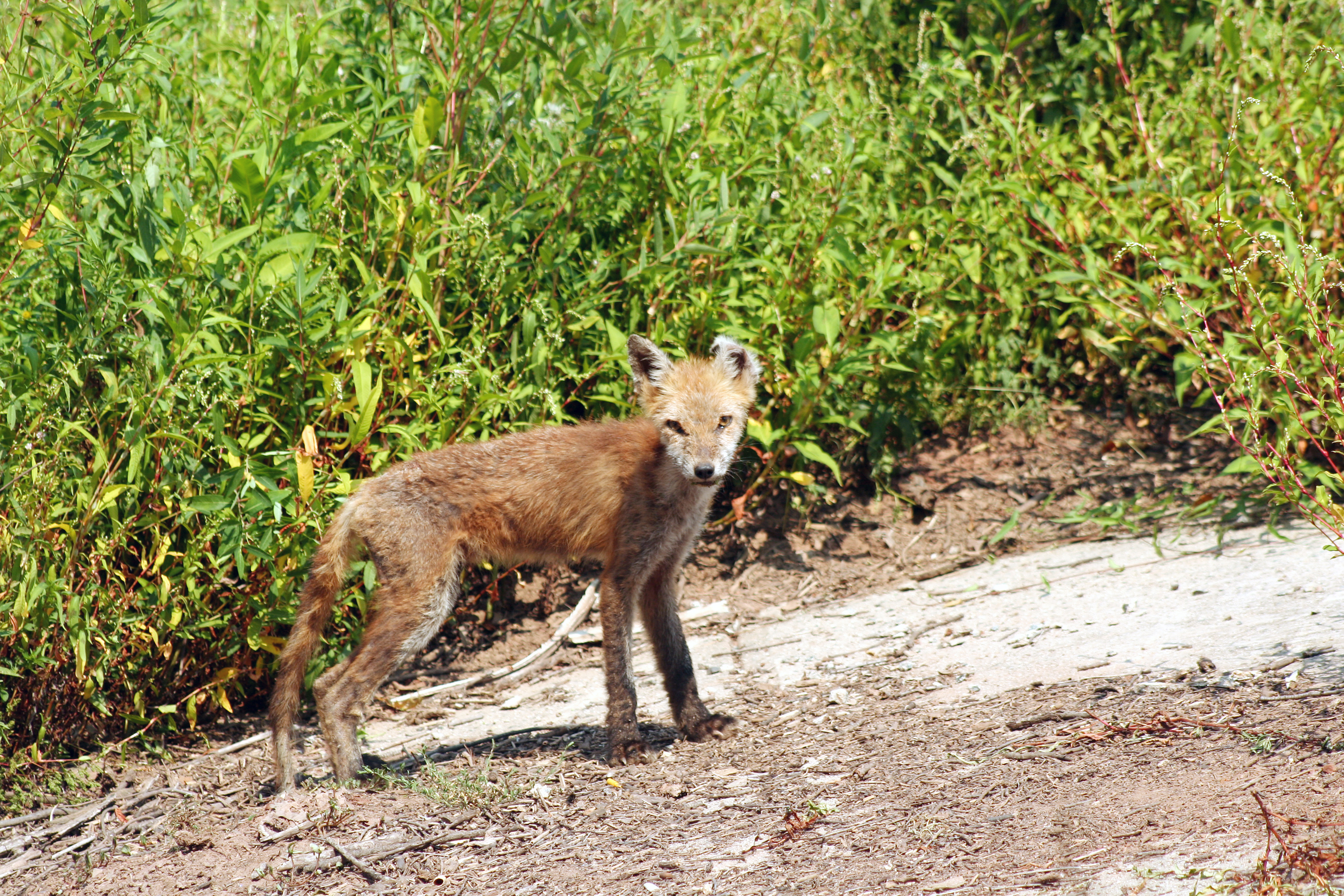 Fuchsräude Grassiert Achtung Große Ansteckungsgefahr Für Hunde