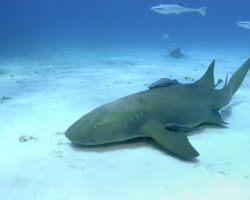 Ammenhaie können über vier Meter lang werden. Ein kleines Exemplar verbiss sich nun in den Arm einer jungen Frau. Selbst nachdem der Hai getötet wurde, ließ er nicht locker. (Bild: kaschibo/fotolia.com)