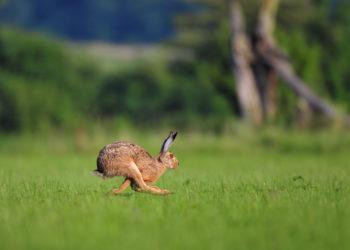 Im Landkreis Celle wurde bei einem Hasen die Hasenpest diagnostiziert. Die gefährliche Infektionskrankheit kann auch auf den Menschen übertragen werden. (Bild: Soru Epotok/fotolia.com)