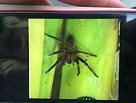 In einem Supermarkt in Niedersachsen wurde eine hochgiftige Spinne entdeckt. Der Markt wurde daraufhin evakuiert und das Tier eingefangen. Das Gift der Spinne kann starke Schmerzen verursachen. (Bild: Polizeiinspektion Delmenhorst/Oldenburg-Land/Wesermarsch)