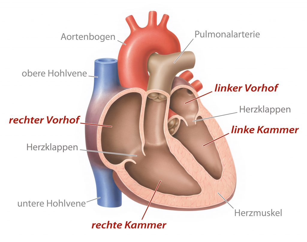 Bei einer Herzwandverdickung liegt eine Vergrößerung des Herzmuskels vor. In den meisten Fällen ist die linke Herzkammer betroffen. (Bild: lom123/fotolia.com)