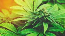Die meisten Menschen werden Marihuana nur als ein Rauschmittel kennen. Es gibt allerdings auch Medikamente, die auf der Pflanze aufbauen. Forscher fanden jetzt heraus, dass solch ein Medikament hilft Anfälle bei Epilepsie zu reduzieren. (Bild: EpicStockMedia/fotolia.com)