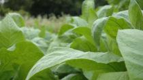 Tabakpflanzen-Wirkstoff gegen Malaria. Bild: vski - fotolia