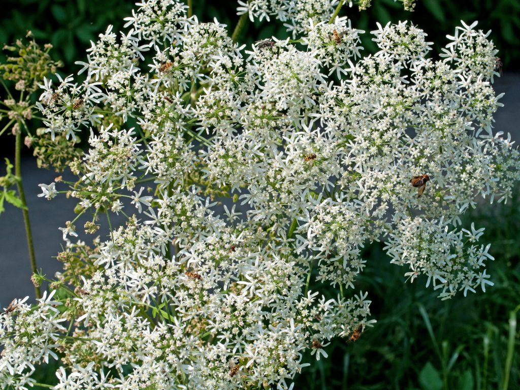 Wiesen-Brenklau - Heracleum sphondylium. Bild: M. Schuppig - fotolia