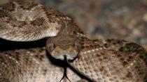 Besonders gefürchtet aber unüberhörbar: Die Klapperschlange. Bild: Steve Byland - fotolia
