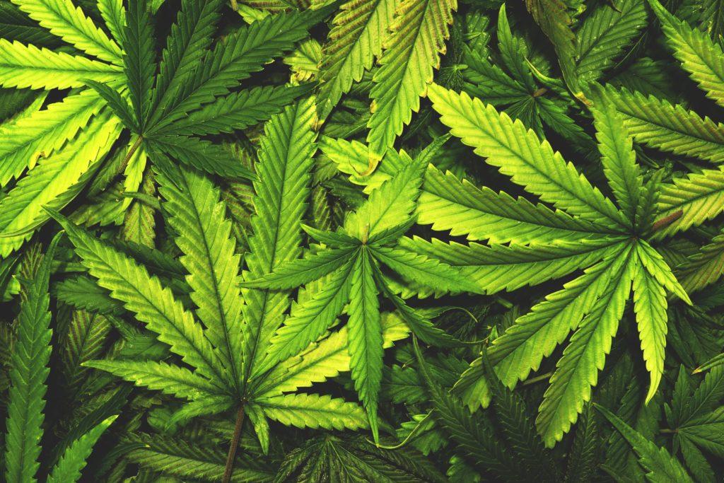 Dass Marihuana eine positive Wirkung auf die Gesundheit hat, konnte schon vielfach wissenschaftlich belegt werden. Eine neue Studie deutet nun darauf hin, dass Cannabis auch gegen Alzheimer helfen kann. (Bild: openrangestock/fotolia.com)