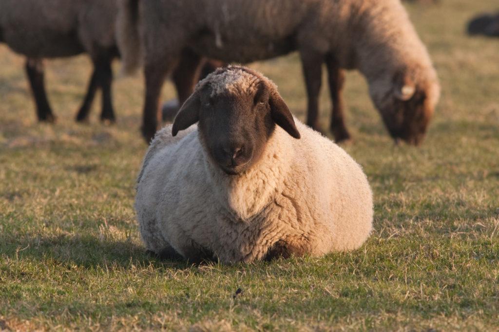 Die Blauzungenkrankheit kann vor allem für Schafe gefährlich werden. Obwohl es in Deutschland derzeit keine Erkrankungsfälle gibt, lassen viele Landwirte ihre Tiere impfen. (Bild: cmnaumann/fotolia.com)