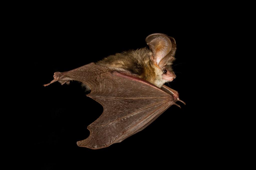 In den vergangenen Wochen wurden an verschiedenen Orten Deutschlands tollwütige Fledermäuse gefunden. Experten warnen davor, die Tiere mit bloßen Händen anzufassen. (Bild: Geza Farkas/fotolia.com)