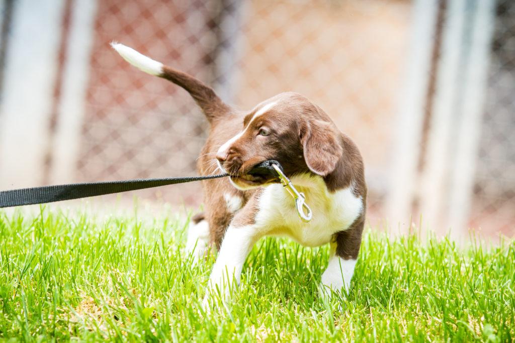 Mit dem Hund spielen macht Halter und Vierbeiner Spaß. Experten raten allerdings von sogenannten Zerrspielen mit Welpen und jungen Hunden ab. Dabei könnten die Zähne der Tiere Schaden nehmen. (Bild: hemlep/fotolia.com)