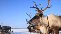 Im Norden Russlands ist es erstmals seit Jahrzehnten wieder zu einem Milzbrand-Ausbruch gekommen. Ein Junge sei gestorben. Bislang seien nur Rentierhirten und ihre Tiere betroffen. (Bild: pisotckii/fotolia.com)