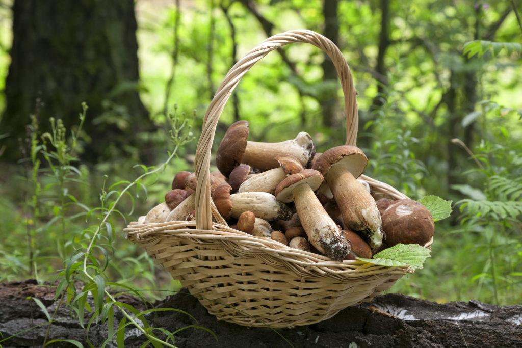 Viele Bundesbürger lieben es, im Spätsommer auf Wiesen und in Wäldern Pilze zu sammeln. Leider kommt es aufgrund von Verwechslungen immer wieder zu Pilzvergiftungen. Manchmal mit tödlichem Ausgang. (Bild: Vladimir Sazonov/fotolia.com)