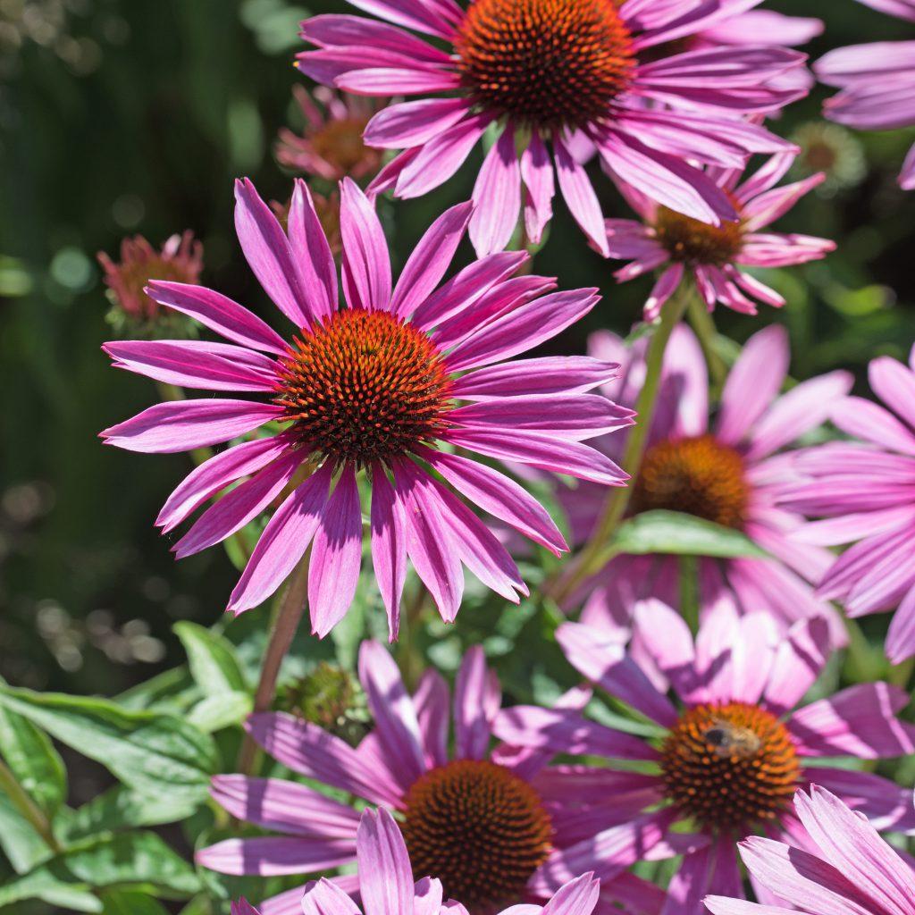 Die Heilpflanze Sonnenhut. Bild: M. Schuppich - fotolia
