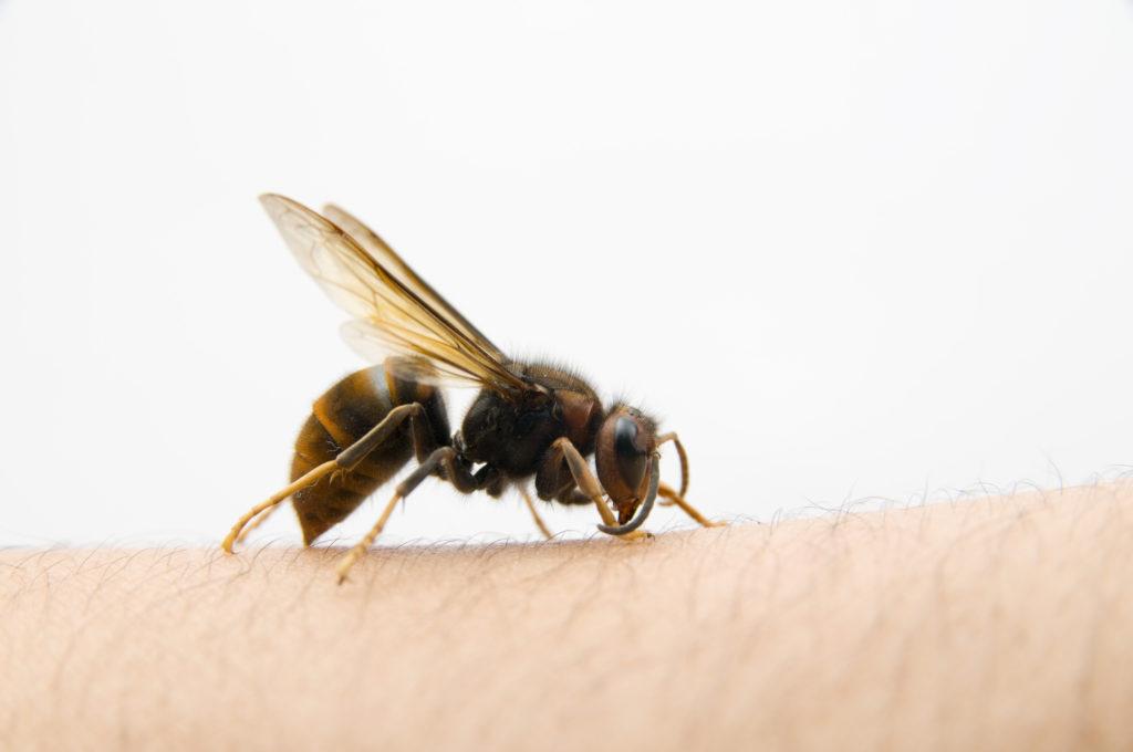 Menschen, die an einer Insektenstichallergie leiden, wissen wie gefährlich Wespenstiche werden können. Doch auch für Nichtallergiker stellen die Stiche eine Gefahr dar, vor allem wenn sie im Mund- oder Halsbereich erfolgen. (Bild: jcwait/fotolia.com)