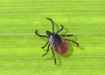 Dieses Jahr gibt es besonders viele Zecken und damit eine höhere Gefahr, an FSME oder Borreliose zu erkranken – denn diese Krankheiten werden durch die kleinen Blutsauger übertragen. (Bild: emer/fotolia.com)