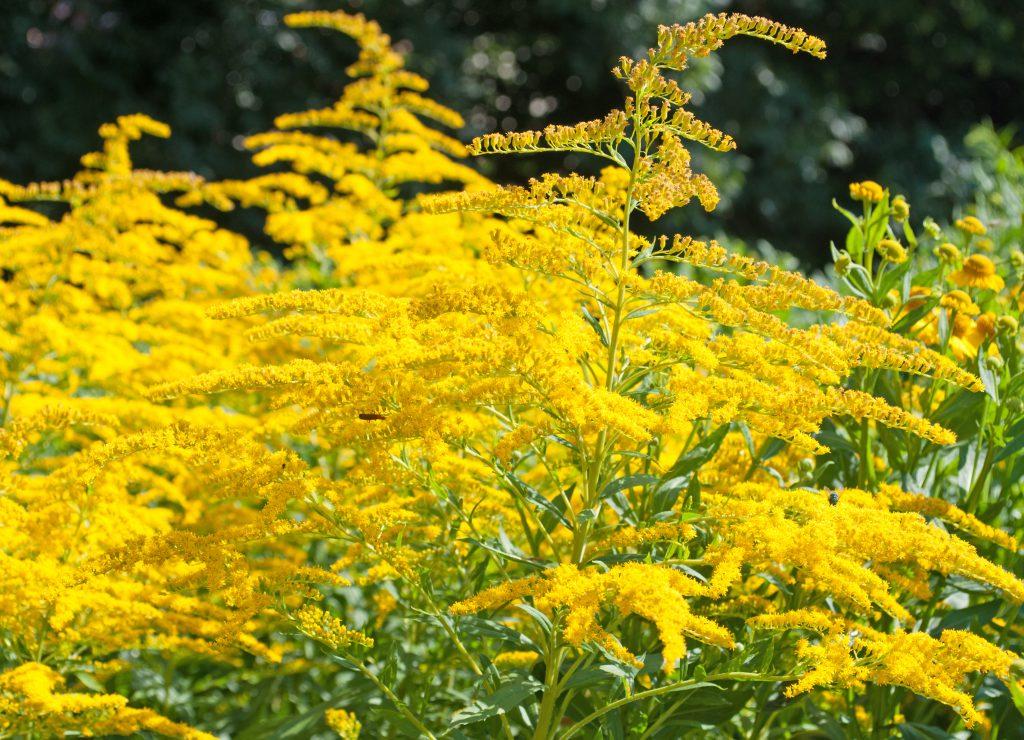 Goldrute - Heilpflanze der indianischen Naturheilkunde. Bild: M. Schuppich - fotolia