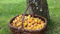 Mirabellen sind nicht nur pur oder als Marmelade sehr lecker. Auch zum Backen sind die kleinen gelben Früchte gut geeignet. (Bild: L.Bouvier/fotolia.com)
