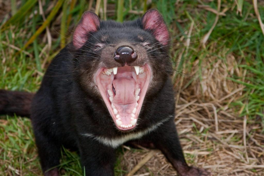 Beutelteufel leiden unter einer speziellen Form von Krebs. Diese kann von Tier zu Tier übertragen werden. Lange Zeit sah es so aus, als ob der Tasmanische Teufel durch diesen Krebs aussterben würde. Forscher stellten jetzt fest, dass die Tiere eine Resistenz gegen die tödliche Krankheit entwickeln. (Bild: melanieplusdaniel.de/fotolia.com)