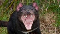Beutelteufel leiden unter einer spezieller Form von Krebs. Diese kann von Tier zu Tier übertragen werden. Lange Zeit sah es so aus, als ob der Tasmanische Teufel durch diesen Krebs aussterben würde. Forscher stellten jetzt fest, dass die Tiere eine Resistenz gegen die tödliche Krankheit entwickeln. (Bild: melanieplusdaniel.de/fotolia.com)