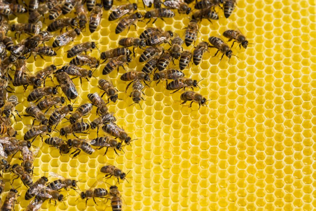 In den USA sind Millionen Bienen durch ein Insektizid getötet worden. Das Insektengift wurde gegen die für Zika-Infektionen verantwortlichen Stechmücken versprüht. (Bild: mirkograul/fotolia.com)